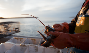 Lobster Fisherman Notches female lobster